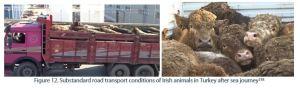 Figure 12. Substandard road transport conditions of Irish animals in Turkey after sea journey