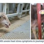 Figure 20. Animals with severe heat stress symptoms in journeys in 2016 and 2018