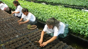 Transplanting coffee seedlings at the FEDECOVERA nursery