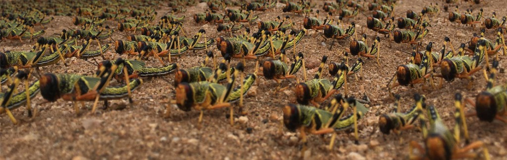 Swarms of marching locusts have been known to have a devastating impact on agriculture.