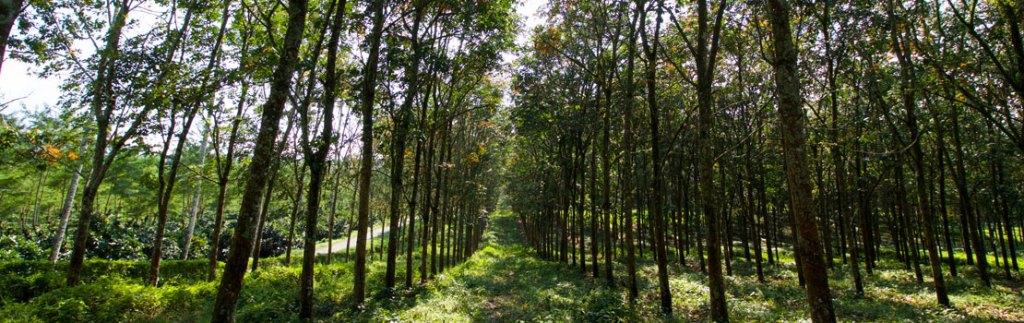 an Indonesian smallholder forest