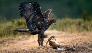 L'Aigle et les lièvres