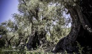 Les sanglots de l'olivier de Dar Om Saad