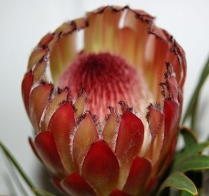 Protea Burchili Resendiz Brothers