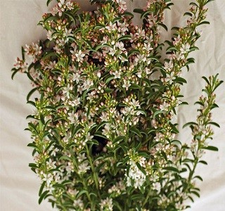 Filler Flowers Eriostemon