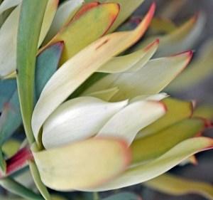 Leucadendron Maui Sunset Resendiz Brothers Flora