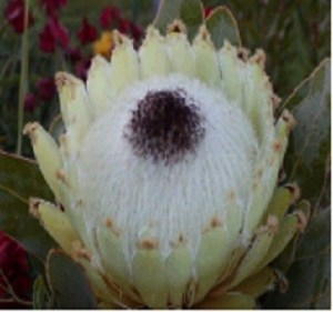 Protea Queen White