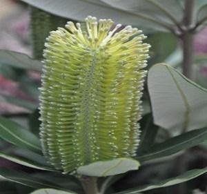 Banksia Integrifolia Resendiz Brothers Flora