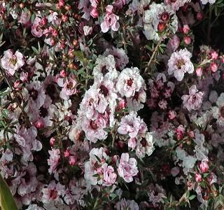 Filler Flowers Leptospermum Pink Blossom