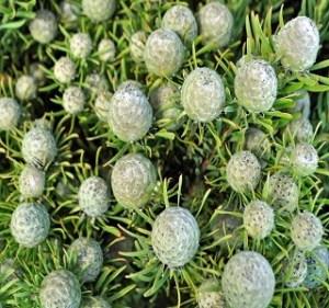 Leucadendron Linifolium Resendiz Brothers Flora