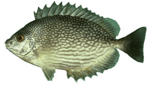 ikan-baronang