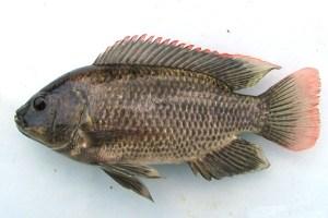 10 Jenis Ikan Air Tawar Di Indonesia Yang Sering Dikonsumsi