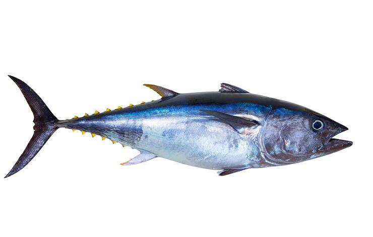 Unduh 400 Gambar Ikan Cakalang HD Terbaru