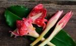 Tips Memilih & Mengolah Bunga Kecombrang