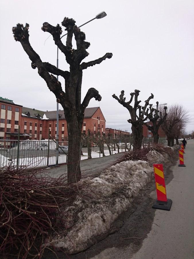 Trädbeskärning på Storgatan i Nässjö