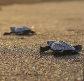 liberación de tortugas en nayarit
