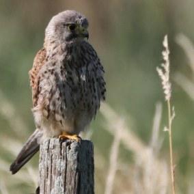 Faucon crécerelle (Falco tinnunculus) - © Mathieu JEAN