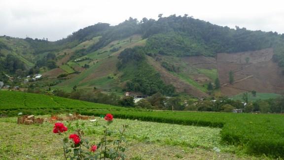 Cerro Punta celery crop