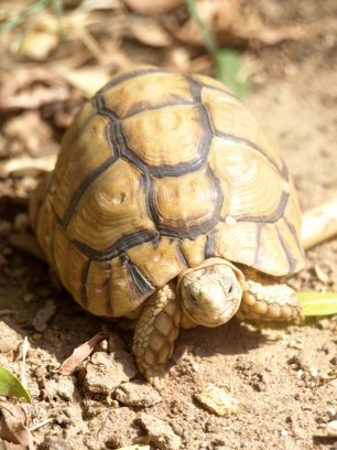 One of two Egyptian tortoises that live in our garden