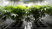 cannabis farm