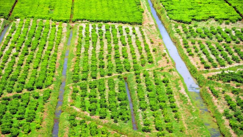 ref2184_tea-plantation.jpg