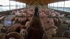Pig Farm, 500 sow. Elevage de porc, 500 truies. Cordoba, Argentina