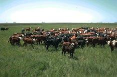 Pasture in crop rotation = strong rotation. Une patûre dans la rotation fait du très bon travail! La pampa, Argentine