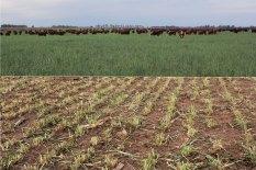 Bull graze for the second time this cereal rye before soybean drilling. Paturage du couvert de seigle pour la deuxième fois, avant le semis du soja.