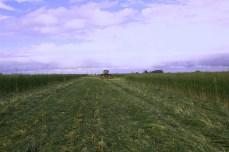 Cereal Rye rolled, before drilling. Soil moisture management is the key for a good soybean start. Roulage du seigle avant semis du soja, la gestion de l'humidité du sol avant semis est une clef de la réussite du soja. Buenos Aires, Argentina
