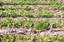 Soybean drilled into the corn of last year. No cover crop => weed. Weed resistant (Rama Negra) to the heavy herbicide treatment (Glypho + residuals). Soja semé directement dans les maïs de l'année dernière. Pas de couverts=>Adventices. De plus, cette adventice est résistante à tous les herbicides qui ont été pulvérisés sur cette parcelle (Glypho et h résiduels). Cordoba; Argentina