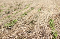 Soybean drilled into a cereal rye of 10T DM/ha. Destruction Glyphosate 1,5L/ha.. Soja semé dans un couvert de seigle de 10 T MS/ha.