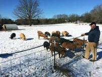 Circle B-Ranch : Porc plein air atelier naisseur engraisseur. Une partie des porcs sont fini dans les bois. https://resilientagriculture.wordpress.com/2017/02/26/circle-b-ranch-porc-plein-air-naisseurengraisseur-missouri/n