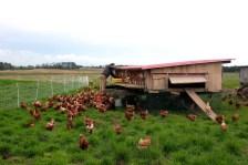 Poules pondeuses en rotation sur pâtures https://resilientagriculture.wordpress.com/2017/05/13/three-brothers-farm-poule-pondeuse-en-rotation-sur-pature/