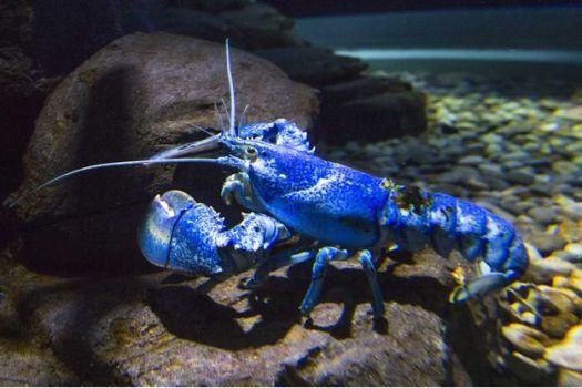 Un rare spécimen de homard bleu, photographié dans un aquarium à Toronto (Canada).