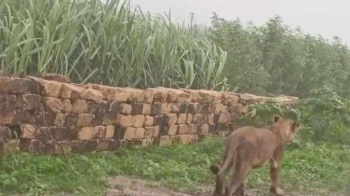 हल्की बारिश के बीच एक शेर अमरेली के जंगलों में देखा गया