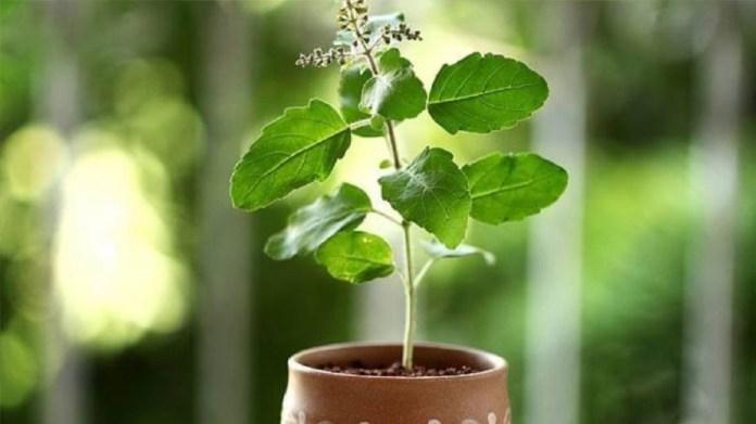 घर के लिए वास्तु टिप्स: इस दिशा में कभी भी तुलसी का पौधा अपने घर में न लगाएं |  पुस्तकें समाचार - इंडिया टीवी