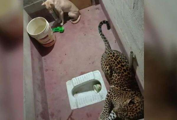 Stray dog locked up in toilet with a leopard. What happened