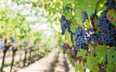 Wine Central: Types of Wine and Popular Regions