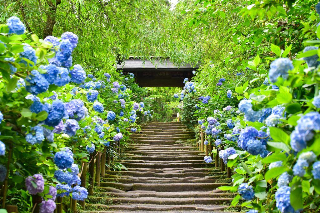 『鎌倉明月院』名不虛傳的紫陽花(繡球花)寺   MATCHA - 日本線上旅遊觀光雜誌