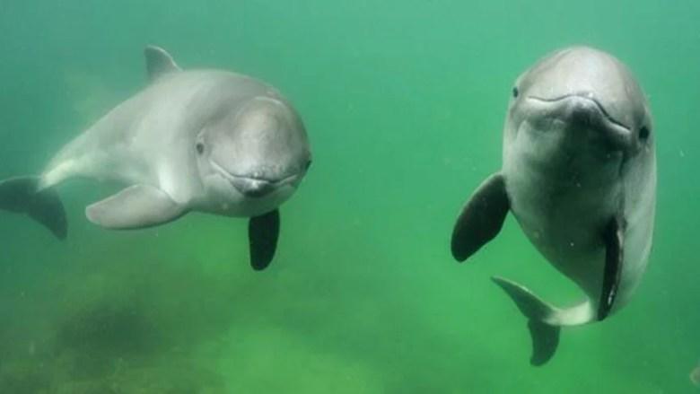 Tumlare (Phocoena phocoena) är en skygg liten val som förekommer i våra kustvatten, och som behöver skyddade områden där den kan föda sina ungar.