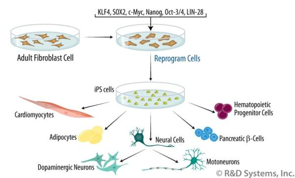 Induced Pluripotent Stem Cells: R&D Systems