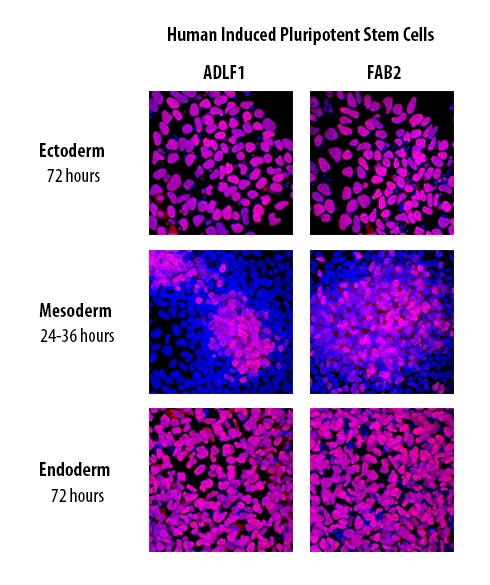 Human Pluripotent Stem Cell Functional Identification Kit ...
