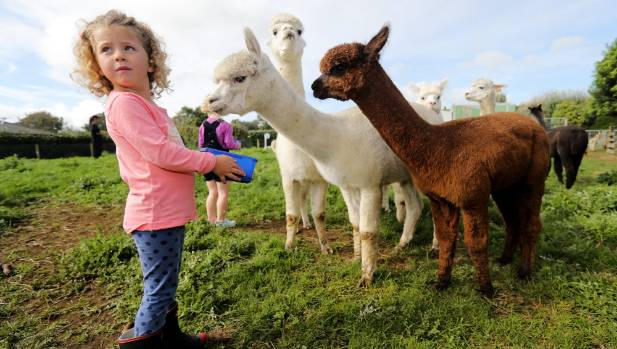 Lifestyle choice: Alpacas have a fine fleece but are not really kept for their market return.
