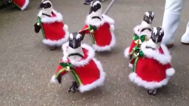 Penguins Parade In Christmas Outfits In Japanese Park