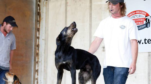 Tom Pepper and his dog Russ, 3, a huntaway from Geraldine, take their turn at the second annual Bark Up competition as ...