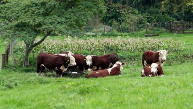 Hereford bulls in a paddock at Bushy Downs Hereford Stud.