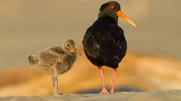 An oystercatcher bird and chick at the Waikanae Estuary.
