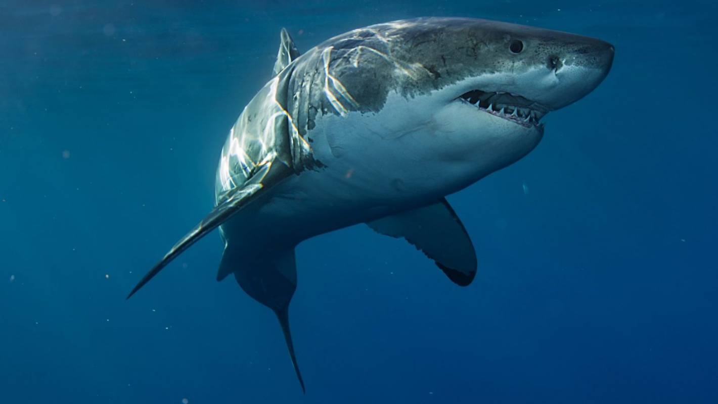 Great White Sharks Vanish From Cape Town And No One Knows Why