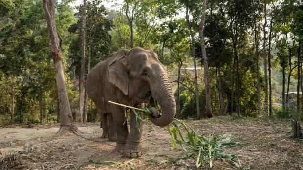 Des études montrent que les éléphants et d'autres animaux ont développé des stratégies puissantes pour garder le cancer à distance.