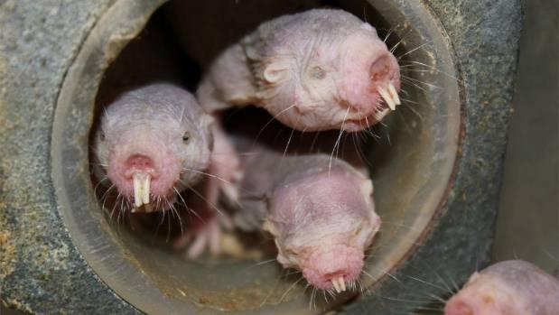 Des études ont montré que les rats-taupes nus ont de fortes capacités de lutte contre le cancer et ont rarement des tumeurs.